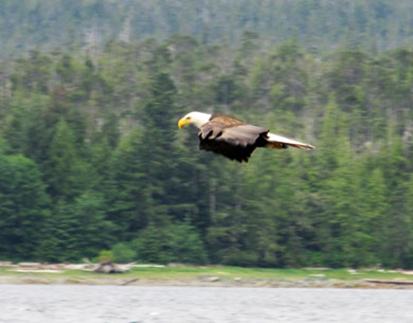 bald eagle gliding