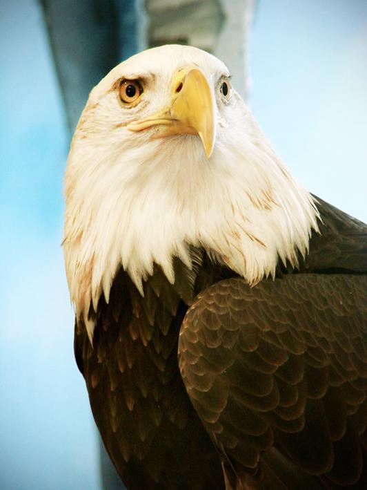 haliaeetus leucocephaous eagle bird clipart