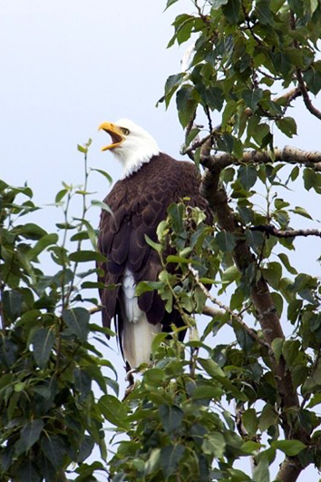 screaming bald eagle in tree