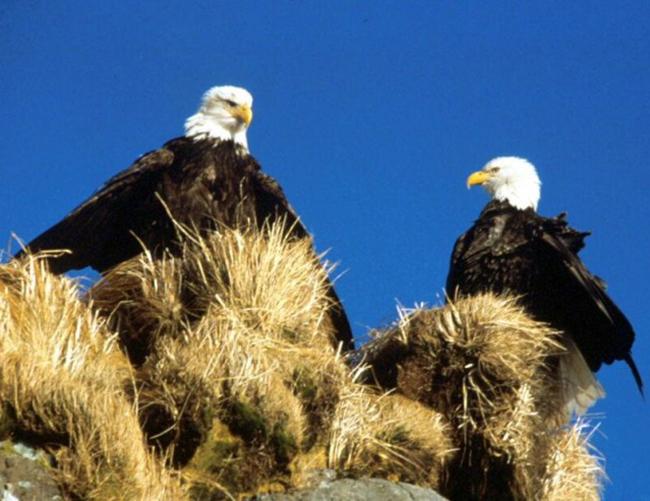 couple of bald eagles