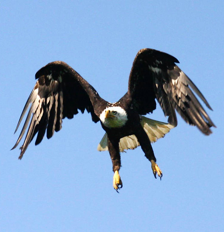 bald eagle ready to land
