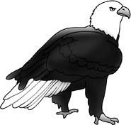 american bald eagle picture