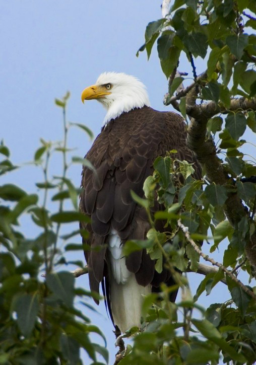 bald eagle in tree top