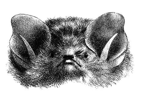 bat head clipart