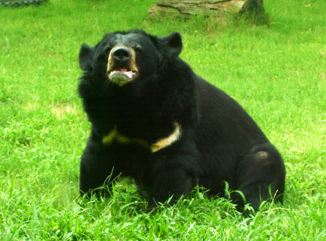 bear pictures ursus