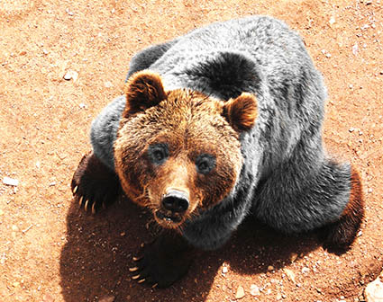 bear with brown head and paws