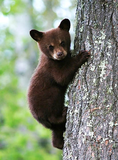 pictures of animals the brown bear cub