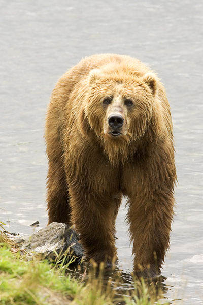 fishing brown bear in river