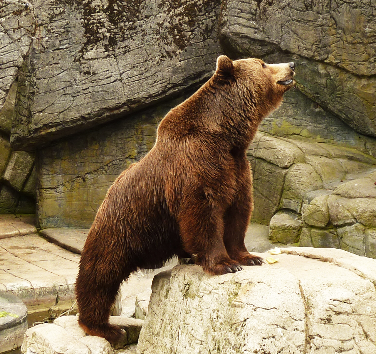 Brown bear in zoo with dinner