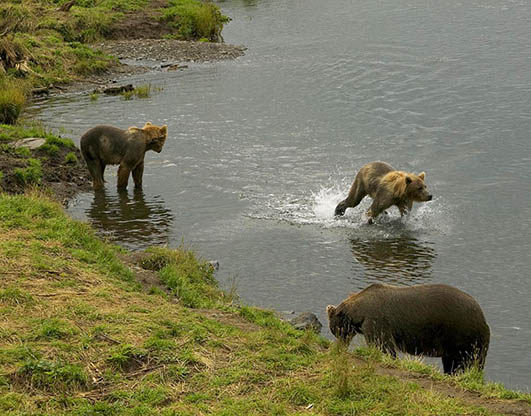 Brown bear with two cups in river fishing