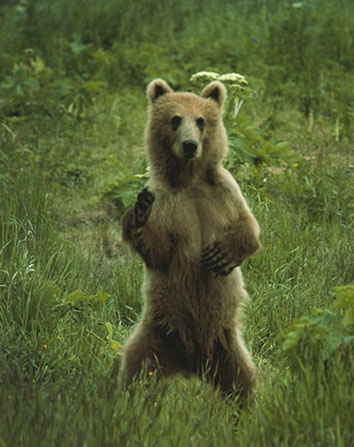 Kodiak bear standing on hind legs