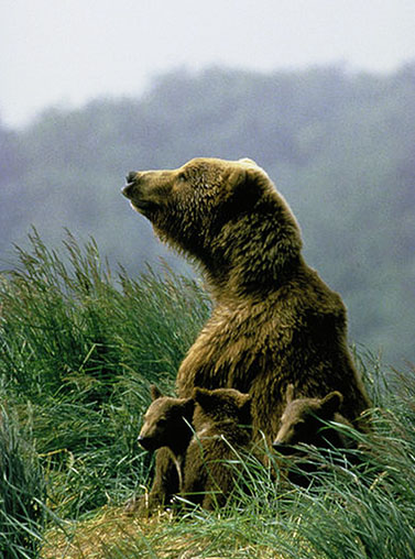 Kodiak bear with cubs