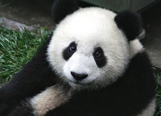 Panda cup head