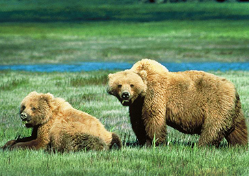 bear pictures two Grizzly bears near river