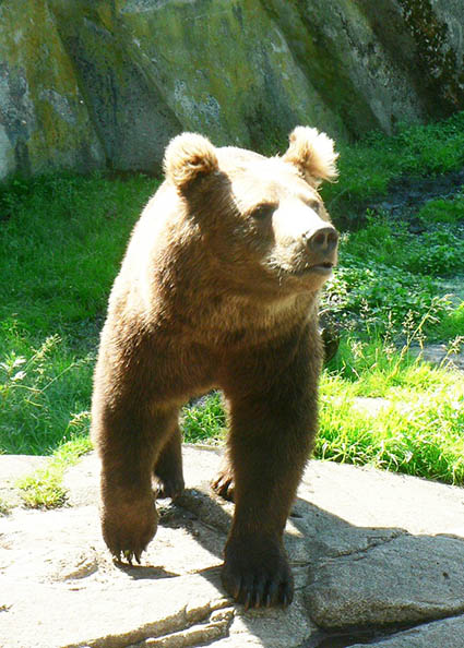Walking bear