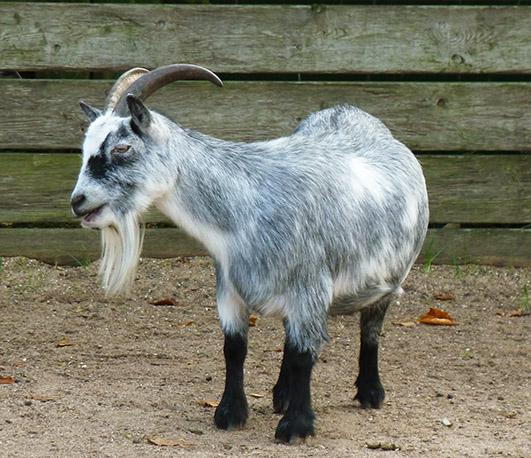 Bearded pet goat