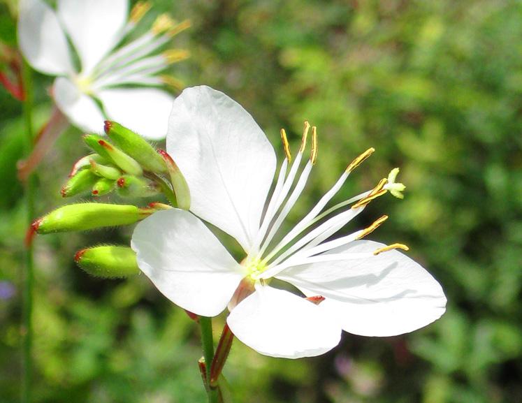 delicate white flower pics