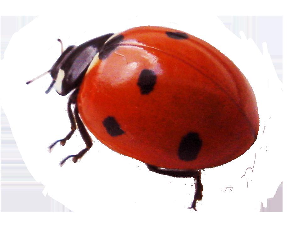 beautiful ladybug clipart