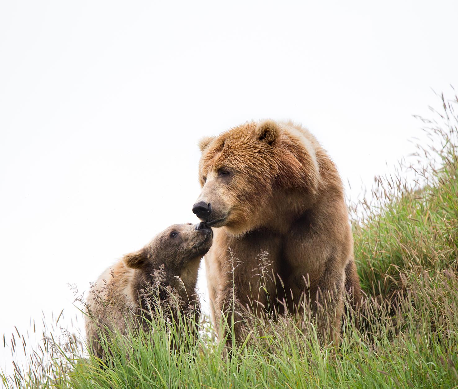 Kodiak bear and cub beautiful picture