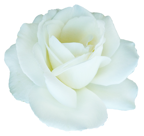 Beautiful white rose for Valentine