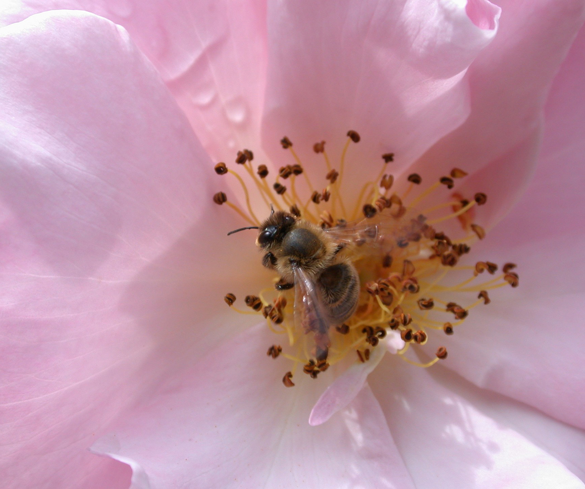 bee in a pink rose