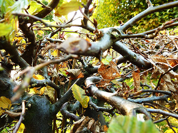 beech branch with autumn leaves