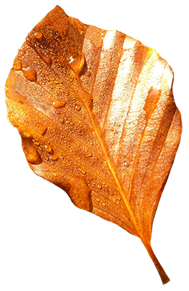 beech leaf with rain drops