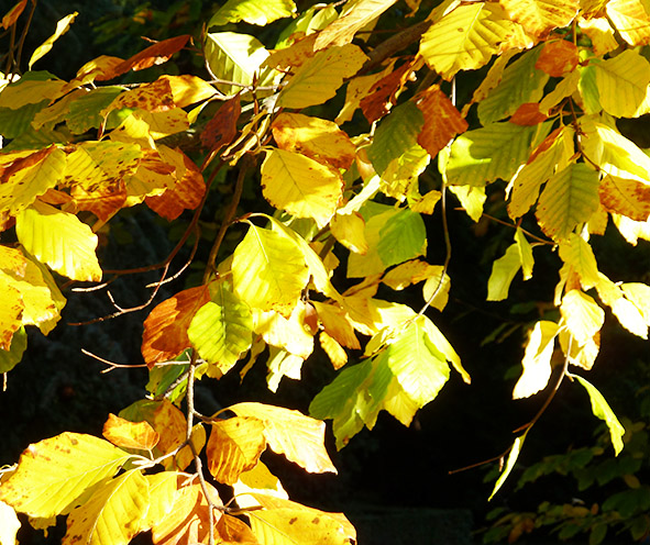 beech leaves in the autumn