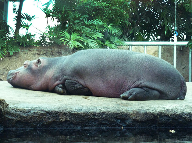 big baby hippo sleeping on rock