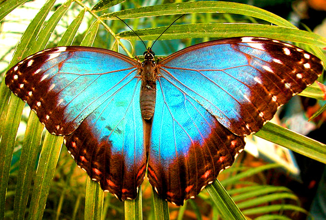 big blue motyl