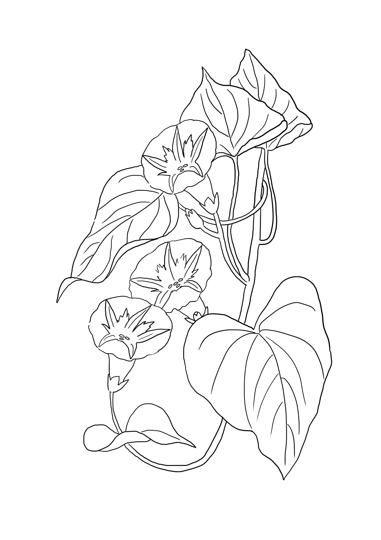 bindweed-coloring-page