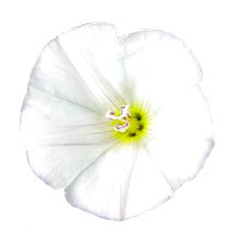 bindweed white