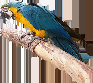 blue parrot clip art