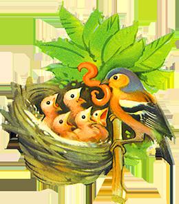 chaffinch feeding youn birds in nest