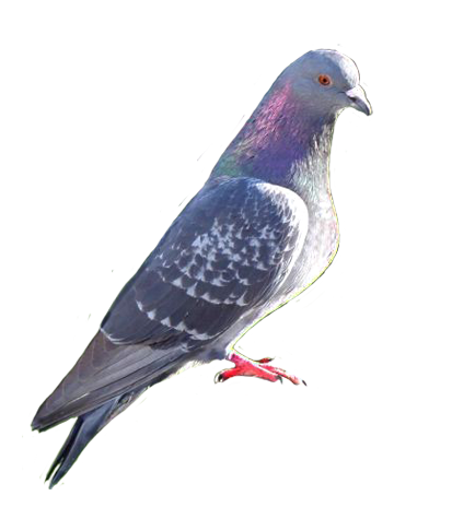 pigeon photo clip art