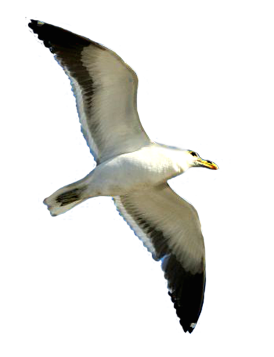 Flying Seagull Clip Art