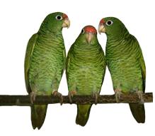 tucuman amazone parrots