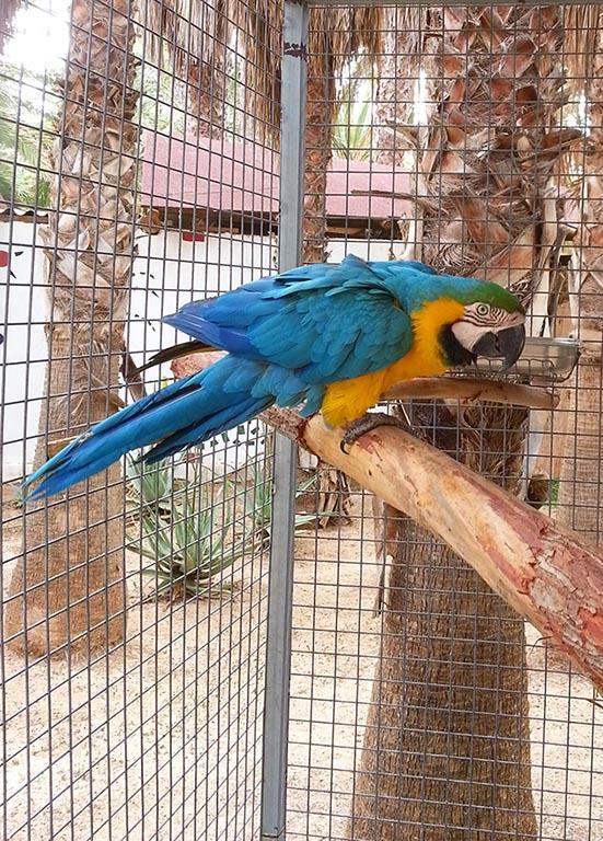 Blue parrot