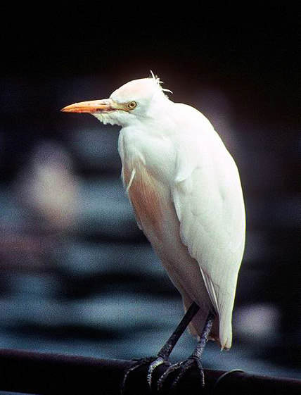bird pictures Cattle Egret