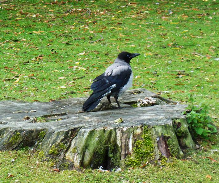 Corvus photo