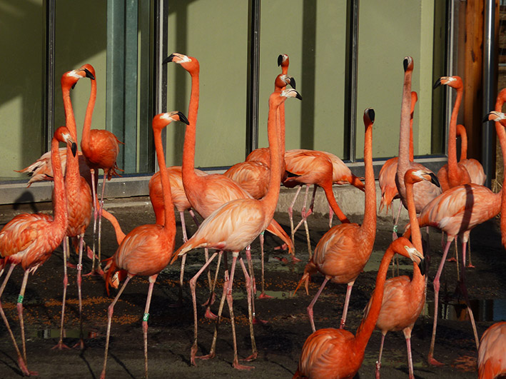 picture of red flamingos