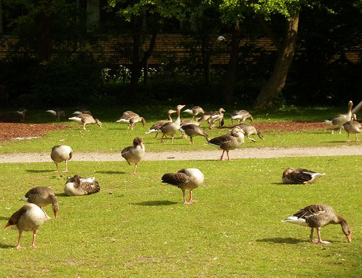 Flock of geese in park