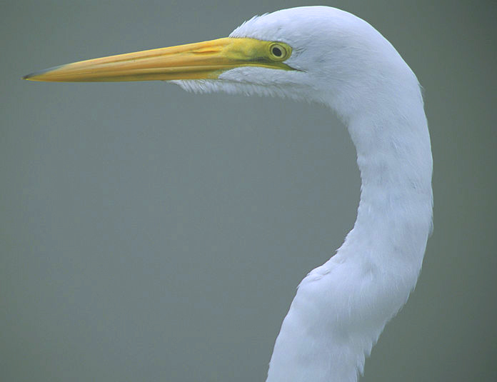 Head of Great Egret