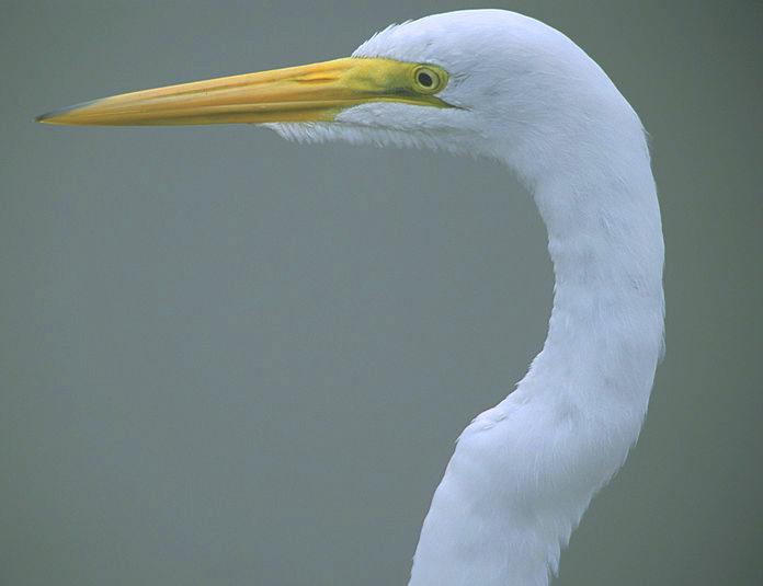 Head of Great Egret