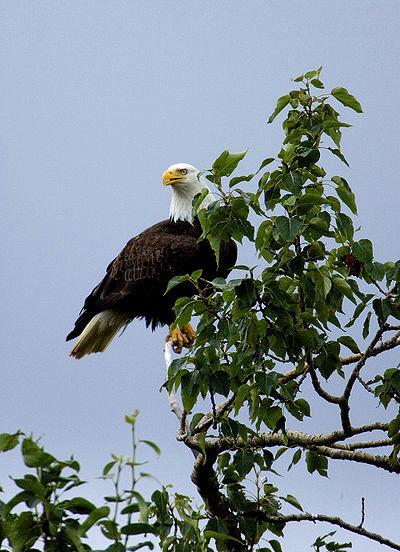 bird pictures bald eagle