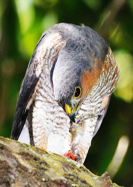 Puerto Rican sharp shinned Hawk photo