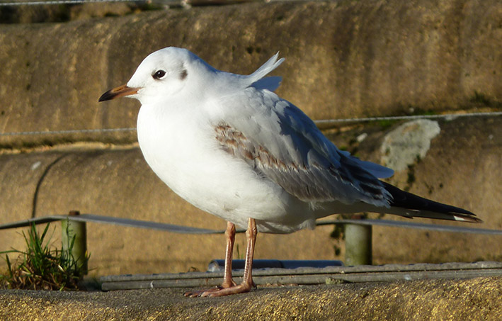Picture of seagull