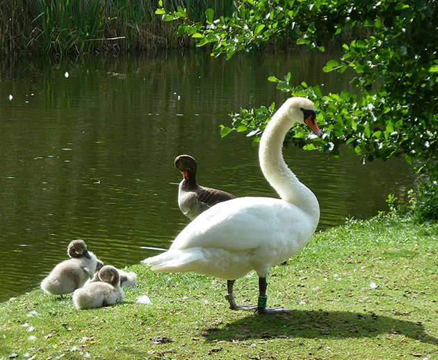 Swan and swanlings