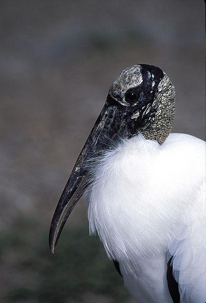 American Wood Stork