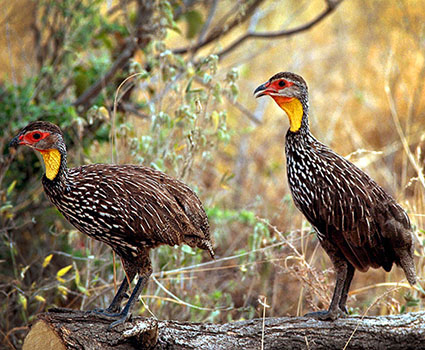 Yellownecked Spurfowl
